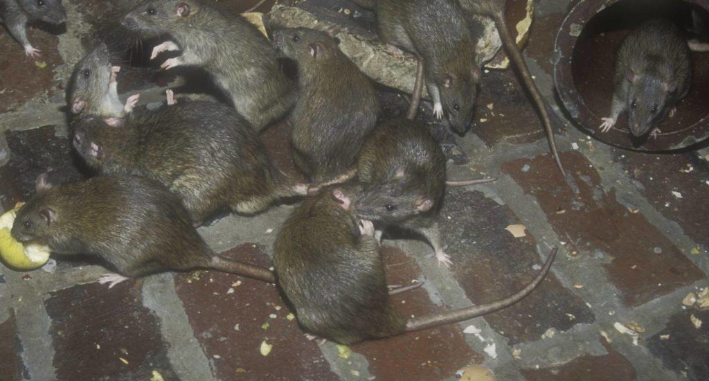 уничтожение крыс в Губкинском